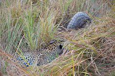 Pangolin and Leopard, Linyanti Concession, Botswana