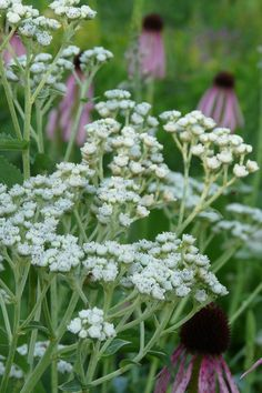 Wild Quinine - Parthenium integrifolium | Prairie Nursery Plant Delivery, Plants, Flowers, Perennial Garden, Native Garden, Medicinal Plants, Flower Seeds, Fall Plants, Native Plants