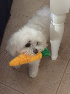 Lily - our two Maltese used to have a carrot just like this! Lily - our two Maltese used to have a carrot just like this! Teacup Maltese, Maltese Dogs, Maltese Poodle, Teacup Puppies, Cute Puppies, Cute Dogs, Dogs And Puppies, Doggies, Animals And Pets