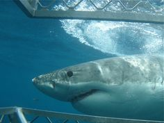 """""""Great white sharks huge fans of rock band AC/DC, tour operator says""""...                   Sharks have great taste in music!"""