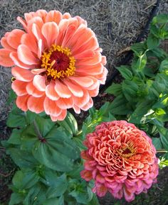 Benary's Giant Salmon Rose Zinnia Gorgeous Large Zinnia Flowers Perfect for Cutting Gardens and Market Gardens 25 SeedsBenary's Giant Salmon Rose is the pretti