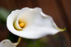 #Calla #top15 #March #Flowers #marzo #spring #primavera #bianco #white
