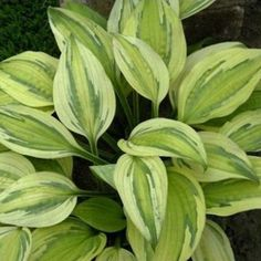 'Captain's Adventure' Medium-size hosta. Multiple shades of green to greenish yellow leaves with creamy white margins. Streak between the margin and leaf center looks as if it's painted on. Lavender flowers.