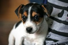Jack Russell Terrier Puppy |