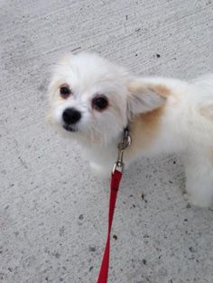 Found Dog   Unknown :: Maltese / Chihuahua Mix    Worcester, MA, United States 01602 on July 16, 2014 (18:00 PM)         Poster  Share Submit      See on Map   Gender: Female   Age: Baby Weight: Small   Hair: Medium Color: white Markings: N/A Spayed/Neutered: No Wearing Collar with Tag: No Medical: N/A Last Status Update: Jul 16, 2014