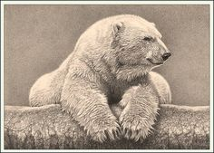 Portrait of a Polar Bear - Polar Bear - Fine Art Drawings www.drawntonature.co.uk   Flickr - Photo Sharing!