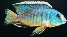 haplochromis marguerita.jpg | Flickr - Photo Sharing!