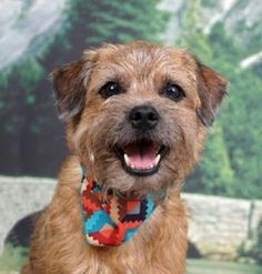 I would LOVE a Border Terrier