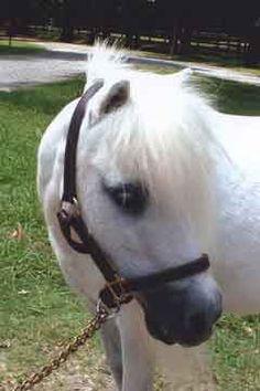 white miniature #horse #animal