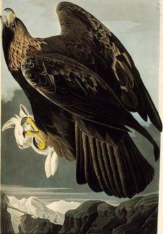 Audubon GoldenEagle.jpg