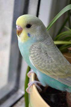Pretty little parakeet