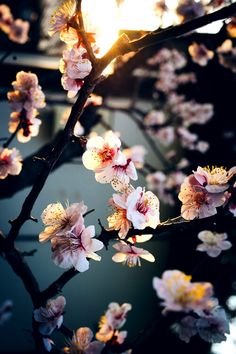 cherry blossom photography - The Most Beautiful and Japanese Blossom Tree to see Phone Backgrounds, Wallpaper Backgrounds, Nature Wallpaper, Iphone Wallpaper, Cherry Blossom Wallpaper Iphone, Jolie Photo, Flower Wallpaper, Pretty Pictures, Cute Wallpapers
