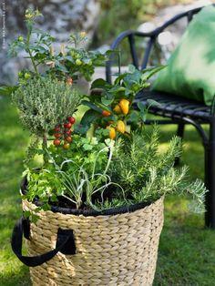 POTATIS kruka av vattenhyacint rymmer en hel liten köksträdgård. (POTATIS kruka trivs bäst under tak)