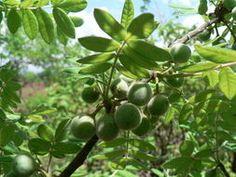 Commiphora Mollis    fruit and leaves        Velvet Commiphora/Sofr-leaved Corkwood     Fluweelkanniedood    8 m Encyclopedia of Life