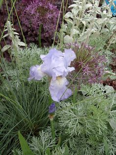 Dutch Iris, Allium, Artemesia, Stachys & a purple Sedum. Organic Gardening, Pretty Plants, Plants, Ornamental Grasses, Plant Combinations, Garden Show, Drought Tolerant Plants, Flower Show, Prairie Garden
