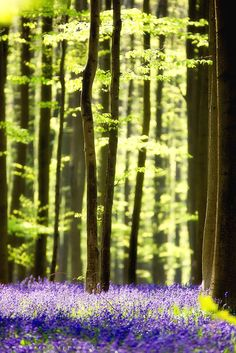touchdisky:  The magical bluebell wood 6 by bart ceuppens / www.bartceuppens.be