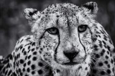 A beautiful  black and white image of a cheetah taken from a hide in Zimanga Private Game Reserve, South Africa  by Astrid Van Zyl