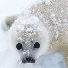 Adorable seal pup - look at those big round eyes!