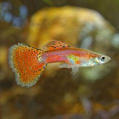 Displaying an array of colors, the Red Cobra Guppy Male is peaceful and gets along with any fish that will not bother it.