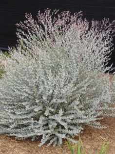 Shrubs Eucalyptus 'Moon Lagoon' - great for cut flowers, drought tolerant, prune regularly Australian Wildflowers, Australian Native Flowers, Australian Plants, Dry Garden, Garden Shrubs, Garden Plants, House Plants, Flowering Plants, Garden Landscaping