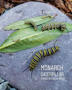 All About Monarchs: How to Attract, Raise, & Release Monarch Butterflies ~ Homestead and Chill Read along to learn how to attract monarch butterflies to your garden, safely raise monarch caterpillars in an enclosure, and release them as butterflies! Monarch Butterfly Habitat, Butterfly Cage, Butterfly Garden Plants, Butterfly Food, Butterfly Feeder, Butterfly Template, Butterfly Dragon, Butterfly Kisses, Insects