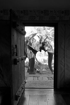 An African Elephant Walking Past an Open Doorway in a Camp  Beverly Joubert