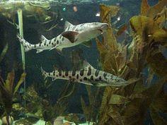 freshwater tank sharks