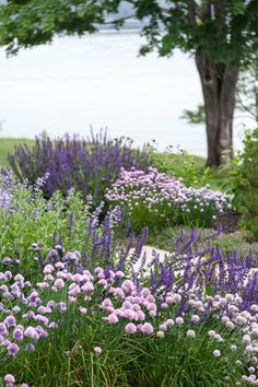 Landscape Architect Visit: Clamshell Alley on the Coast of Maine by Matthew Cunningham: Gardenista Purple Perennials, Hardy Perennials, Violet Garden, Purple Garden, Purple Plants, Palette Garden, Border Plants, Coastal Gardens, Side Garden