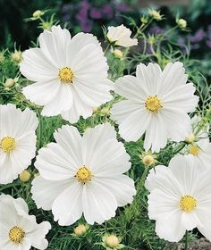 Cosmos Purity annual flower seeds.
