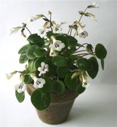 Chirita Primulina Tamiana planta