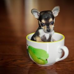Teacup Chihuahua! Makes me laugh since this is what Gigi was supposed to look like! Lol