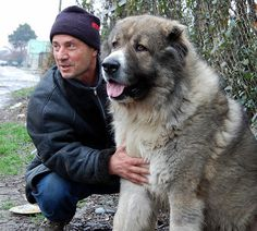 source    look at the size of this puppy! (photo courtesy of  Hans Buhr )     Georgian breeder and his Caucasian Shepherd (photo courtesy...