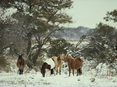 Chincoteague Ponies Forage for Food in the Snowy Assateague Landscape Photographic Print by Medford Taylor at Art.com