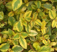 Plant Guide - Plants - Grasses - Lysimachia 'Golden Harvest'