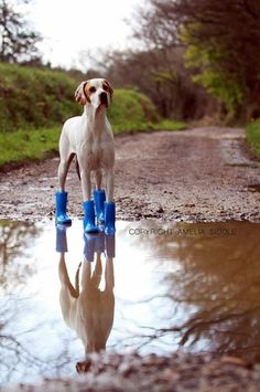 English Pointer - All Weather More