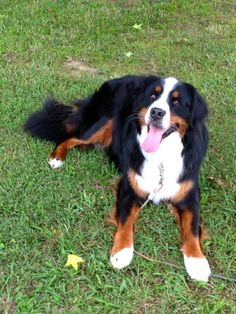 Minnie the Bernese Mountain Dog   ...........click here to find out more     http://googydog.com