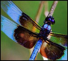 I would love to see this dragonfly in my garden!