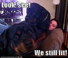 Omw so true, rotties wanna be lap dogs