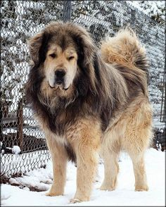 Drakyi is a top producer of quality Tibetan Mastiffs. This rare and giant livestock guardian dog is one of the most ancient of all working breeds. The Drakyi homepage provides information about this great family companion. Extra Large Dog Breeds, Large Dogs, Tibetan Mastiff Dog, Mastiff Dogs, Cute Big Dogs, Hound Dog Breeds, Most Expensive Dog, Kinds Of Dogs, Dogs Of The World