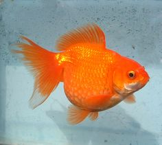 Blue Oranda for Sale | ... £5.00 : Star Fisheries, Fancy Goldfish for Sale, Star Fisheries