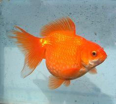 Blue Oranda for Sale | ... £5.00 : Star Fisheries, Fancy Goldfish for Sale, Star Fisheries