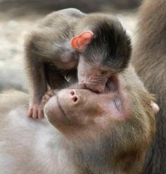 mother love knows no species. all mothers have a right to raise their offspring as nature intended. Mother And Baby Animals, Cute Baby Animals, Animals And Pets, Primates, Beautiful Creatures, Animals Beautiful, Mothers Love, Animal Kingdom, Pet Birds