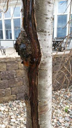 Морозобоина на плодовом дереве