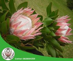 Having the largest flower head in the genus. The king protea species is also known as giant protea, honeypot or king sugar bush. Sugar Bush, King Protea, Honeypot, Large Flowers, Trivia, Plants, Lifestyle, Products, Quizes