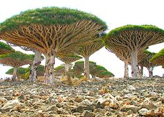 "Alien looking umbrella-shaped ""blood trees"" are found only in Socotra, a four island archipelago in the Indian Ocean. Post: 7 Most Mysterious Places on Earth. via Hub Pages  (these trees would be so neat to see!!)"