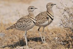 Double-banded Courser (Smutsornis africanus) two birds perched