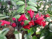 Lipstick Plant (Aeschynanthus lobbianus) | This unusual plant lives up to its name by producing flowers that resemble a tube of lipstick when the bloom first appears.  Flowers come in orange, pink, red and yellow. Cultivation Requirements:  Medium-bright light.  Rich, well-draining soil.  Keep soil evenly moist.  Fertilize monthly.