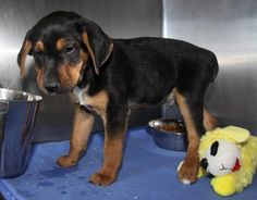 """""""Cocoa"""" is an adorable 3-month old male Rottweiler mix puppy who was surrendered by his owner on February 3, 2015 because his landlord wouldn't allow """"Cocoa"""" to stay in the rental property :( This handsome little boy has a black-and-tan short smooth coat with a white blaze on his chest, a docked tail, and a darling face with tan eyebrows and long floppy ears.  http://www.doggielife.com/cocoa/dogs/5CCQJ1 #dogs #rottweilers"""