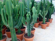 Grote cactussen bij Ubink BV
