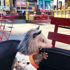 He's such a cute possum! Cute Creatures, Beautiful Creatures, Animals And Pets, Baby Animals, Opossum, Kawaii, Tier Fotos, Cute Funny Animals, Mammals